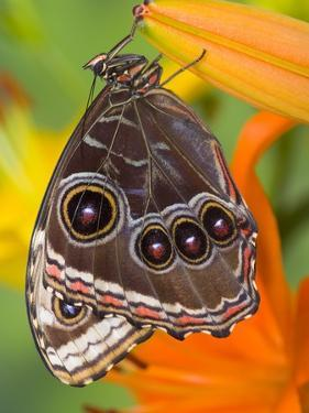Blue Morpho Resting on an Orange Asiatic Lily by Darrell Gulin