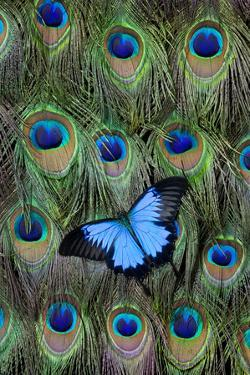Blue Mountain Swallowtail Butterfly on Peacock Tail Feather Design by Darrell Gulin