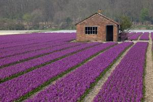 Brick Shed in Growing Field of Hyacinths, Springtime Near Lisse Netherlands by Darrell Gulin