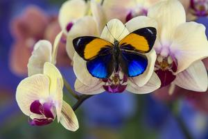Brush-Footed Butterfly, Callithea Davisi on Orchid by Darrell Gulin