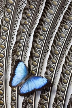 Butterfly, Blue Morpho, on Feather Argus Pheasant Wing Design by Darrell Gulin