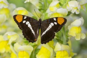 California Sister Butterfly on Yellow and White Snapdragon Flowers by Darrell Gulin
