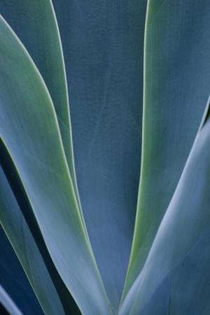 Close-up blue green agave leaves by Darrell Gulin