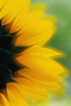 Close-Up of Sunflower by Darrell Gulin