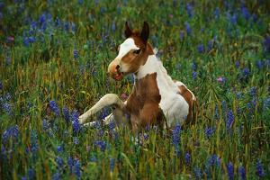 Colt Resting Among Bluebonnets by Darrell Gulin