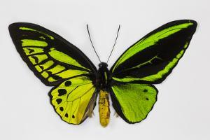 Common Green Birdwing Butterfly, Comparing the Top Wing and Bottom by Darrell Gulin