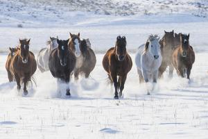 Cowboy horse drive on Hideout Ranch, Shell, Wyoming. Herd of horses running in snow. by Darrell Gulin