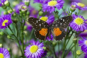 Crimson Patch Butterfly, Cholsyne Janais a New World Butterfly by Darrell Gulin