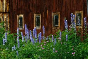 Delpinium Blooms Next to a Barn by Darrell Gulin