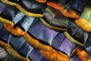 Detail of a Turkey Feather by Darrell Gulin