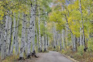 Dirt road and fall colored Aspens, Ohio Pass, Colorado by Darrell Gulin