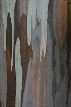 Eucalyptus tree bark by Darrell Gulin