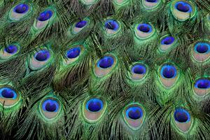 Eye-Spots on Male Peacock Tail Feathers Fanned Out in Colorful Designed Pattern by Darrell Gulin