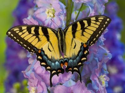 Female Eastern Tiger Swallowtail Butterfly on Delphinium by Darrell Gulin