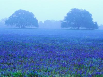 Field of Bluebonnets by Darrell Gulin