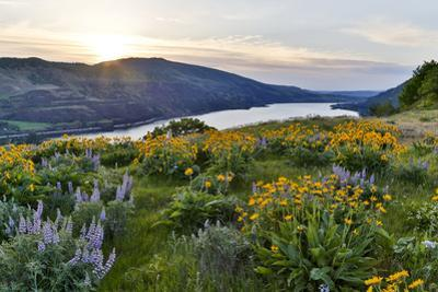 Fields of Balsamroot and Lupine on the Hills above the Columbia River Rowena, Oregon by Darrell Gulin