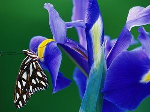 Fritillary Butterfly on a Dutch Iris by Darrell Gulin