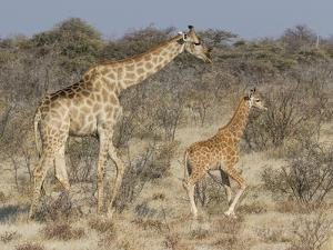 Giraffe and baby on guard, Etosha National Park by Darrell Gulin
