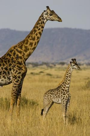 Giraffe Mother and Baby Giraffe on the Savanah of the Masai Mara, Kenya Africa