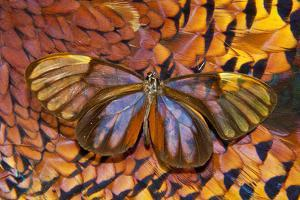 Glass-Wing Butterfly on Ring-Necked Pheasant Feather Design by Darrell Gulin