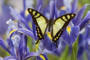 Glassy Bluebottle Butterfly, Graphium Cloanthus Sumatranum by Darrell Gulin