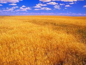 Golden Wheat Field under Blue Sky by Darrell Gulin