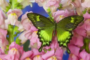 Green Swallowtail Butterfly Papilio Neumogeni by Darrell Gulin
