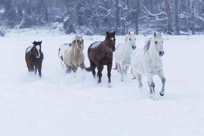 Herd of horses in winters snow, Hideout Ranch, Shell, Wyoming. by Darrell Gulin