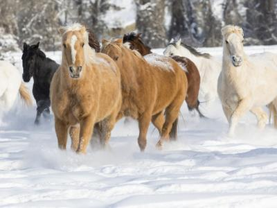 Hideout Ranch, Shell, Wyoming. Horse running through the snow. by Darrell Gulin