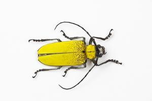 Horn Beetle Celosterna Pollinosa by Darrell Gulin
