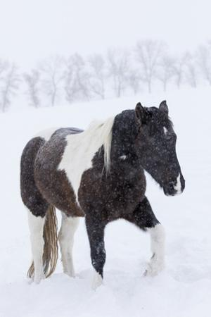 Horse in snow of the Hideout Ranch, Wyoming. by Darrell Gulin