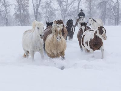 Horses running through snow, Hideout Ranch, Shell, Wyoming. by Darrell Gulin