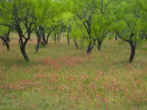 Indian Paint Brush and Young Trees, Devine Area, Texas, USA by Darrell Gulin