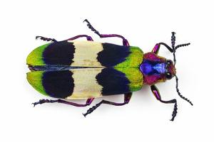 Jewel Beetle from Thailand Chrysochroa Corbetti Top View by Darrell Gulin