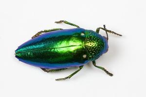 Jewel Beetle Sternocera Aequisignata in Bright Green by Darrell Gulin