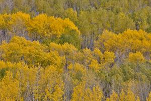 Keebler Pass, Colorado, Fall golden aspens by Darrell Gulin