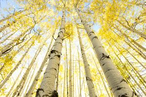 Looking up into a Aspen Grove during Autumn near Kebler Pass, Colorado by Darrell Gulin