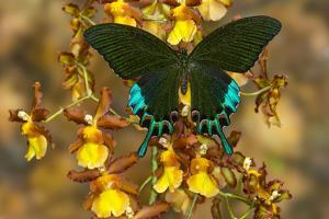 Luzon Peacock Swallowtail Butterfly from Philippines, Papilio Hermeli by Darrell Gulin
