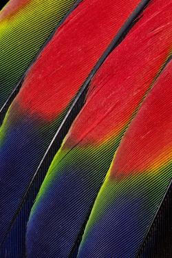 Main Central Wing Feathers of Amazon Parrot by Darrell Gulin