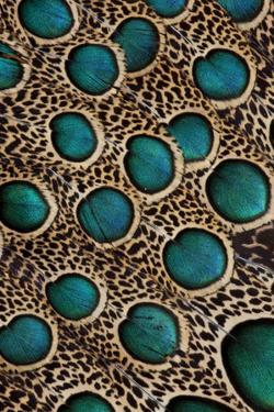 Malay Peacock-Pheasant Feathers with Blue Circles by Darrell Gulin