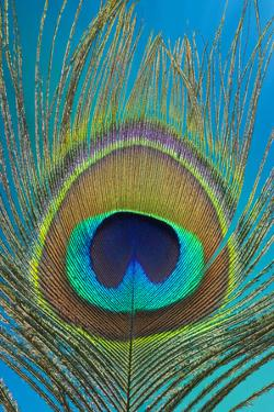 Male Peacock Display Tail Feathers by Darrell Gulin