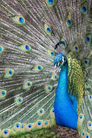 Male Peacock with fanned out tail, South Carolina by Darrell Gulin