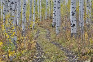 McClure Pass, Colorado with trail in grove of aspen trees. by Darrell Gulin