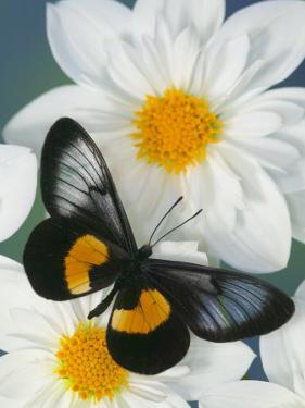 Miyana Meyeri Butterfly on Flowers by Darrell Gulin