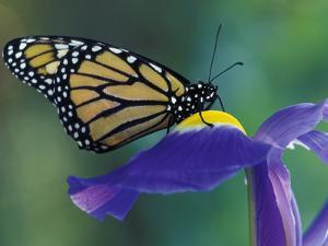 Monarch butterfly on Iris, Bloomfield Hills, Michigan, USA by Darrell Gulin