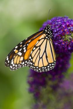 Monarch Butterfly by Darrell Gulin