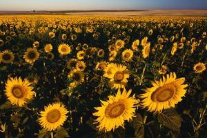 Morning Light on a Sunflower Field by Darrell Gulin
