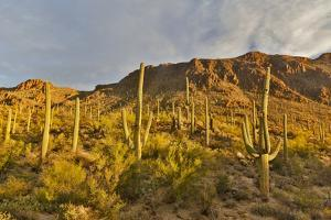 Morning light on Saguaro cactus Saguaro National Park, Arizona. by Darrell Gulin