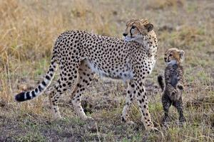 Mother Cheetah with Her Baby Cub in the Savanah of the Masai Mara Reserve, Kenya Africa by Darrell Gulin