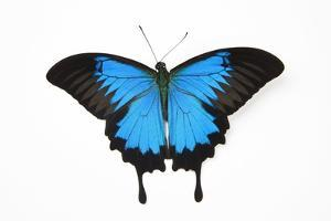 Mountain Blue Swallowtail Butterfly from Australia, Papilio Uysses by Darrell Gulin